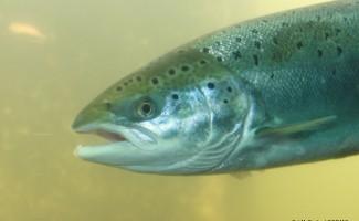 Modèle dynamique de population du saumon de l'Allier