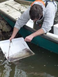 Bilan 2018 des transferts d'anguilles sur l'UGA Loire