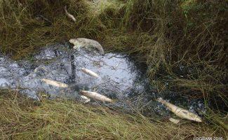 Episodes de mortalités massives de poissons en Loire aval