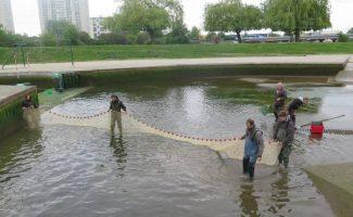 Des poissons migrateurs dans la passe de l'île Balzac à Tours