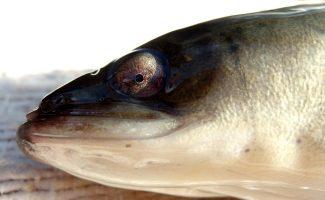 Découvrir l'anguille de la Sèvre niortaise