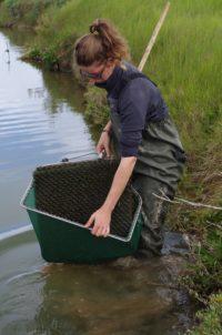Des habitats artificiels pour suivre les anguillettes des marais vendéens