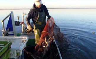 Où vont les anguilles argentées du lac de Grand Lieu ?