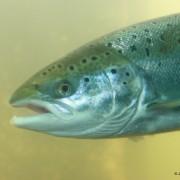 Les indicateurs du saumon